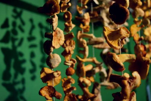 drying mushrooms